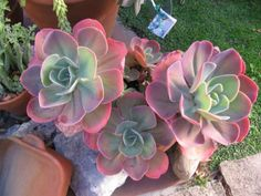 Echeveria gibbiflora shows a very wide variation in color and form of rosettes and leaves. The flowering stem of a plant...