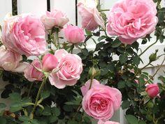 English Rose , Hyde Hall