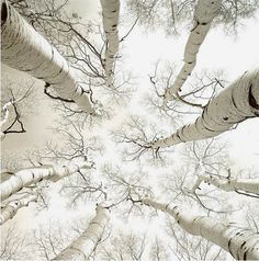silver birch - reaching to the heavens.  photograph Adam Brock [British artist and photographer]