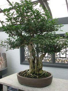 a48edad5c993 12 Best jasmine tree images