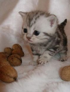 Little cute kitty playing with walnuts
