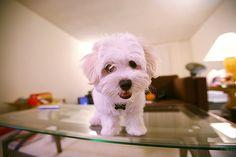 White Dog On Table.