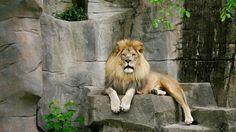 камни, кошки, Лев, лев, хищник, зверь, животные, листья, кошачьи, взгляд, кис-кис-мяу-мяу, глаза, грива