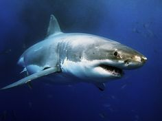 8 more things you should know about great white sharks
