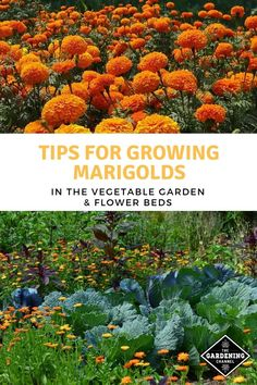 garden tips these gardening tips and tricks to grow marigolds. Learn how to plant marigolds in the vegetable garden for a natural repellent against garden pests. Marigolds In Garden, Growing Marigolds, Garden Pests, Plant Pests, Garden Insects, Gardening For Beginners, Gardening Tips, Balcony Gardening, Indoor Gardening