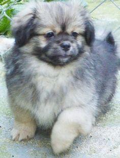 Tibbie puppy