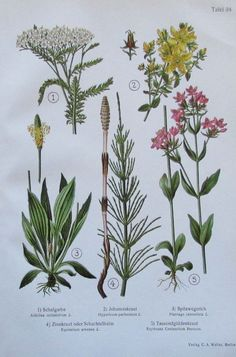 1937 Heilpflanzen: Schafgarbe Johanniskraut Spitzwegerich Zinnkraut - Druck Ebay, Medicinal Plants, Sheep, Art Print