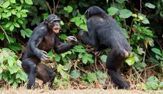 Chimpanzee Clan 'Goes Ape': Chimps Attack, Brutally Murder And Feast On Ex-Leader In Angry Fit — And No One Knows Why