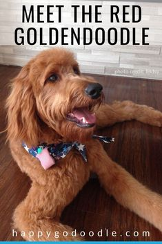 Wondering what to expect when you have a red Goldendoodle? Here are 7 things you may not know about the red Goldendoodle. Goldendoodle Full Grown, Goldendoodle Names, Standard Goldendoodle, Mini Goldendoodle, Doodle Dog Breeds, Puppy Coats, Fluffy Dogs, Red Dog, Therapy Dogs