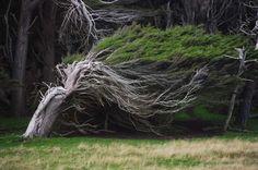 Ανεμοδαρμένα δέντρα του Slope Point (2)