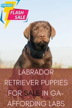 Labrador retriever puppies for sale in GA is now very easy. Various Labrador breeders and suppliers perform well in Georgia. But, we focused on those who are experts...... #labradorsofinstagram #Labradoroftheday #labradorable #labradorpuppy Labrador Breeders, Labrador Puppies For Sale, Retriever Puppies, Labrador Retriever, Georgia, Dogs, Easy, Animals, Instagram