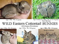 Care for Baby Bunnies - The ARC - Animal Rehabilitation Center Wild Baby Rabbits, Wild Bunny, Wild Rabbit, Bunny Bunny, Baby Bunnies Care, Baby Care, Pet Care, Bunny Rescue, Duckling Care