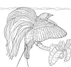 With the yellow plumes from his flanks cascading over his back in an explosion of color, the male Greater Bird-of-Paradise shows why his feathers have been treasured by plume hunters for centuries. To download a free coloring page, visit our website! #coloring #coloringpage #birdofparadise