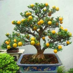 Bonsai Orange Tree Seeds Organic Fruit Tree Seeds For flower pot planters very big and delicious - Bonsai pot - Obstgarten Bonsai Orange Tree, Bonsai Fruit Tree, Bonsai Trees For Sale, Bonsai Tree Care, Bonsai Tree Types, Indoor Bonsai Tree, Bonsai Plants, Ikebana, Plantas Bonsai