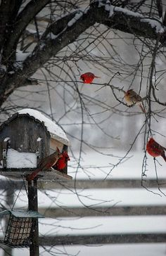 .RED BIRDS IN THE SNOW