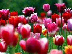 Rain Drops Twinkle on Blooming Tulips on a Field near Freiburg, Germany Lámina fotográfica