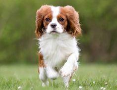 Doe de online puppytest en kom erachter welk hondenras bij jou past! Lees meer over hondenrassen zoals de King Charles Spaniel op puppytest.nl