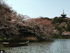 Hanging out at #sankeien #garden today. #cherryblossom #pink #white #lake #rowboat #scenery #beautiful #spring #water #japan #kanagawa