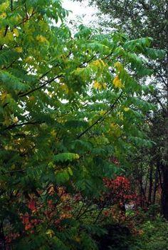 Juglans ailanthifolia