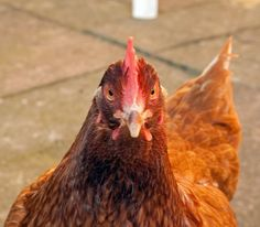 Day 40 - this is Vera, a chicken not to be messed with