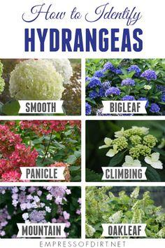Pruning Hydrangeas, Types Of Hydrangeas, Hydrangea Landscaping, Garden Landscaping, Planting Flowers, When To Prune Hydrangeas, Landscaping Design, Caring For Hydrangeas, Flower Gardening