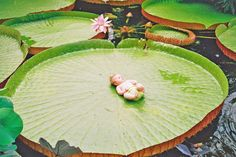 Victoria Amazonica Giant Lily Pad