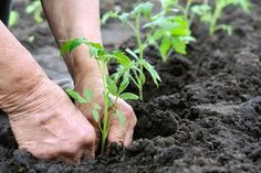How to grow the tastiest tomato? A tomato expert recommends planting seedlings in rich soil with lots of organic matter and a steady slow-release fertilizer. Growing Tomatoes From Seed, Growing Tomato Plants, Growing Herbs, Grow Tomatoes, Garden Tomatoes, Organic Farming, Organic Gardening, Gardening Tips, Sustainable Gardening