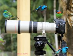 #WildBirds #Nature #AvianEnrichment  Tanagers by Itamar Campos.