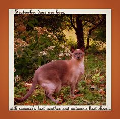 September Siamese by CatWisdom101 on Etsy, $25.00