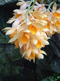 Dendrobium sulcatum Olbrich