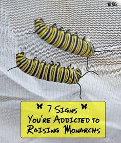 Are you Addicted to Raising Monarch Butterflies? Check the 7 signs and then see how you can get on the path to monarch recovery so raising monarchs is the amazing experience you always intended it to be. Butterfly Cage, Butterfly Garden Plants, Butterfly House, Monarch Butterfly, Butterfly Feeder, Butterfly Flowers, Swamp Milkweed, Milkweed Plant, Monarch Caterpillar