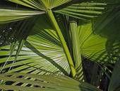 Coconut palm tree leaves