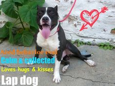 BANDERRA (ID# 0969368) SPECTACULAR dog with a personality to match. He aced his behavior evaluation, his tail never stops wagging, takes treats gently & is easy to leash & walk.This fabulous boy is 2 yrs old, 69 lbs,NEUTERED. His time is quickly running out.Located at Manhattan AC in NYC shelter contact info below. Original thread: https://www.facebook.com/photo.php?fbid=10152939416730403=a.10150712209565403.706595.323965755402=1