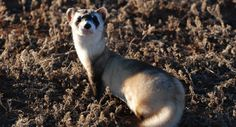 A black-footed ferret at Wind Cave National Park.
