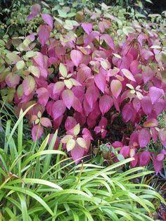 Cornus Westonbirt - reminder to self must get this. Give Me Butterflies, Plant Identification, Garden Paths, Bees, Garden Ideas, Butterfly, Plants, Wood Bees, Flora