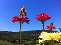 Italy, Toscane, Butterfly