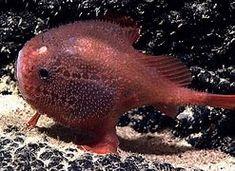 pacific deep sea fish - Bing images Cyberpunk, Deep Sea Creatures, Deep Sea Fishing, Smiles And Laughs, Deep Water, Toad, Marine Life, Creepy, Wildlife