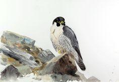 Museum Lars Jonsson - Lars Jonsson Bird Illustration, Watercolor Bird, Wildlife Art, Moleskine, Natural History, Paper Art, Birds, Raptors, Watercolors