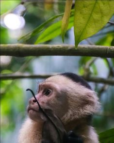 IG Pic: @milesmotley Capuchin Monkeys, Animals, Beautiful, Animales, Animaux, Animal, Animais, Dieren