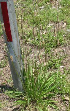 Der Spitzwegerich ist eine der am weitesten verbreiteten Wildpflanzen. Nutze seine Blätter, Blüten, Samen und Wurzeln als Nahrung und für die Gesundheit! - Bild von Jay Sturner [CC-BY-2.0]