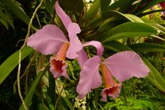 This Cattley Percivalinia  Orchid is is one of my favoroits Orichids. I rank this in my ULTIMATE 5 at 4th.  It was taken at Fairchild Tropical and Botanical Garden in Coral Gabals FL in Miami