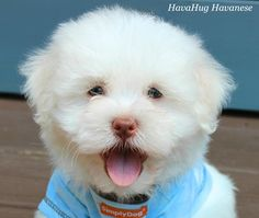 HavaHug Havanese Puppies, is a Michigan based Havanese breeder of quality Chocolate AKC Havanese Dogs. Non-shedding, Hypo-allergenic Puppies. Breeder of the Most Beautiful Chocolate Havanese! Havanese Breeders, Havanese Grooming, Havanese Dogs, Dog Grooming, Havanese Puppies For Sale, Yorkie Puppy, Cute Puppies, Cute Dogs, Cute Puppy Breeds