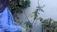 Need help pruning your roses this winter? Gardenerd is here to help. Christy Wilhelmi shows you how to cut and shape your rose bushes for healthier spring gr...