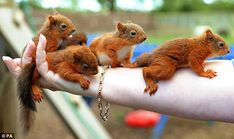 rescued baby red squirrels