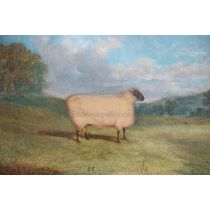Prize Shropshire Sheep