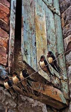 swallows by the barn