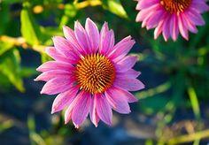 L'Echinacea: l'alliée contre le froid - Frantsila. Originaire d'Amérique du Nord, l'Echinacée se reconnait à ses fleurs roses semblables aux marguerites. Si les Amérindiens s'en servaient pour désinfecter et lutter contre le venin du serpent, des études scientifiques récentes ont montré que cette plante précieuse permet aussi de stimuler les défenses immunitaires.. Serpent, Pink Flowers, Daisies, Scientists, North America, Plant, Home