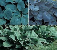Moody Blues Hostas -- 3 blue-leaved varieties
