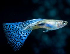 Top 3 Guppy myths busted