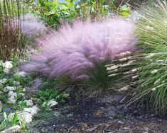 Muhlenbergia Pink Muhly Grass Muhly Grass never had it so good! This ultra-rugged, ultra-tough native grass is topped in late summer and fall by enormous plumes of cotton-candy pink, as airy as puffballs, as showy as the most elegant bloom! Outdoor Plants, Garden Plants, Outdoor Gardens, Ornamental Grasses, Dream Garden, Lawn And Garden, Lush Garden, Garden Bed, Organic Gardening